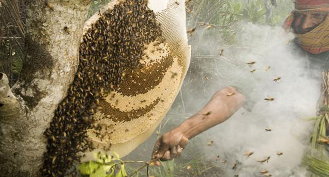 beekeeper honey collerting in sundarban